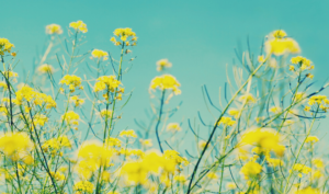 Image of yellow flowers against blue skies
