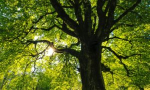Photo of a tree looking up into lush green branches